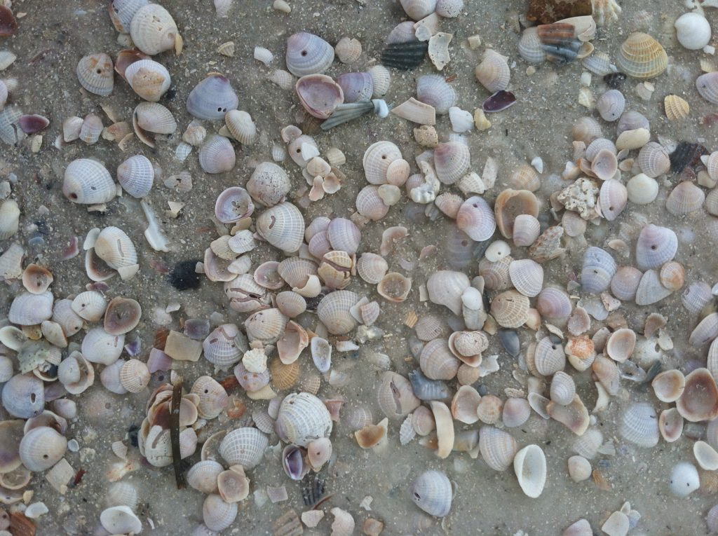 shelling in Mexico Beach